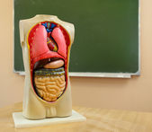 Close up of anatomical  model of a human body — Stock Photo