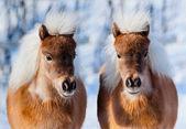 Ponies in winter — Stock Photo