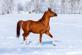 Arabian chestnut horse — Stock Photo