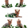 Yorkshire Terriers isolated on black. — Stock Photo