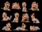 约克夏犬 — 图库照片