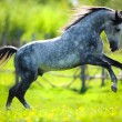 Stock Photo: Horse gallops in springtime on field
