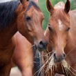 Two horses eating hay. — Stock Photo #26867959