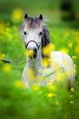 Pony in field — Stock Photo