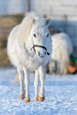 White pony — Stock Photo