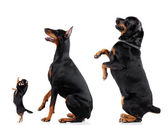 Chihuahua, Doberman, Rottweiler — Stock Photo