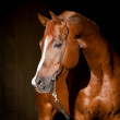Stock Photo: Chestnut horse head