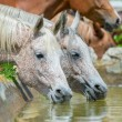 Horses drinking water — Stock Photo