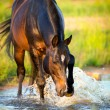 Horse splashing in the water — Stock Photo