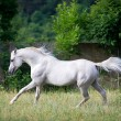 Arabian gray horse — Stock Photo