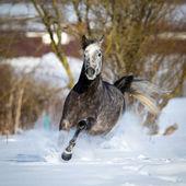 Horse runs in snow — Stock Photo