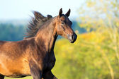 Arabian horse portrait in motion. — Stock Photo