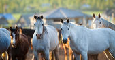 Group of Arabian horses looking at camera. — Stock Photo