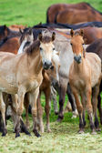 Group of horses looking at camera. — Stock Photo