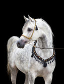 Arabian gray horse on black — Stock Photo