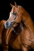 Chestnut horse head on dark background — Stock Photo