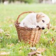 Labrador retriever in a basket - Stock Photo