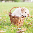 Stock Photo: Labrador retriever in basket