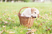 Labrador retriever in a basket — Stock Photo