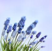 Blauwe lentebloemen — Stockfoto