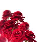 Rote rose isoliert auf weiß — Stockfoto