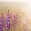 Beautiful lupine on sunrise — Stock Photo