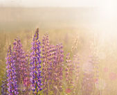 Beautiful lupine on sunrise — Stok fotoğraf