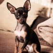 Stock Photo: Toy Terrier