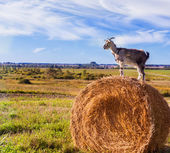 Goat on straw — Stock Photo