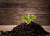 Young seedling growing in a soil on wooden background — Stock Photo