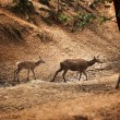 Stock Photo: Roe-deer  in wild