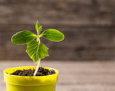 Young plant  in pot on wooden background — Stock Photo