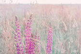 Lupine outdoor — Stock Photo