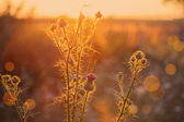 Thistle growing wild in a meadow at sunset time. — Stock Photo