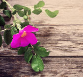 Dogrose on wooden background — Stock Photo