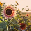 Field of blooming sunflowers on a background sunset — Stock Photo #50395397