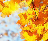 Autumn leaves maple against the blue sky — Stock Photo