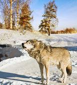 Grijze wolf — Stockfoto