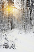 Rays of the sun seen through the trees in the winter forest — Stock Photo