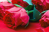 Valentine's day roses on a red background — Stock Photo