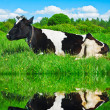 Dairy cow is resting — Stock Photo #23934699