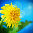 Flowering dandelion — Stock Photo #25622257