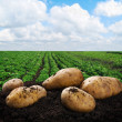 Stock Photo: Harvesting potatoes on ground