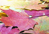 Colored autumn leaves background — Stock Photo