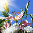 Blooming lilies and peonies on a background of blue sky — Stock Photo