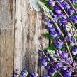 Lupine flowers — Stockfoto