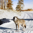 Stock Photo: Wolf in winter forest