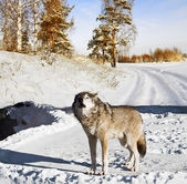 Wolf in winter forest — Stock Photo