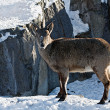 Markhor goat in the snow  — Stock Photo
