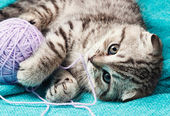 Scottish fold kitten playing with a ball of yarn  — Stock Photo